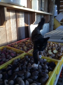 Calvin the cat inspects all 300 pounds of seed potato I cut to plant