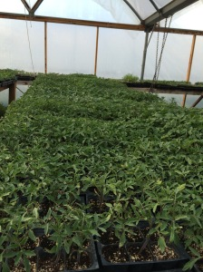 zillions of seedlings wait for the weather to warm and rain to stop long enough for us to plant